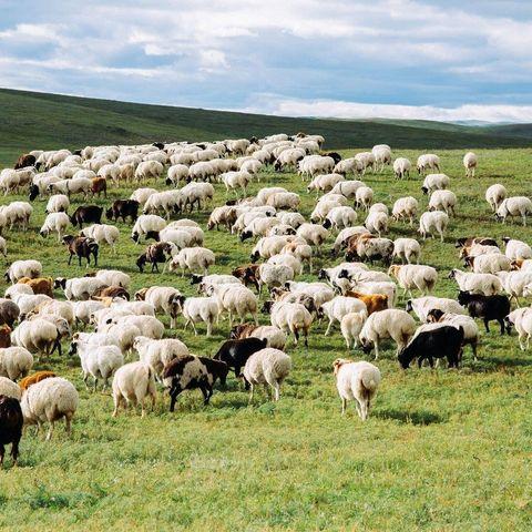 БНХАУ-д хандивлах хонийг иргэдээс худалдан авч, Дорноговь аймагт төвлөрүүлнэ