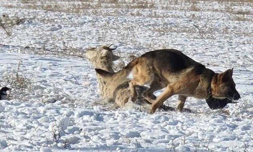 Богдхан уулаас 32 зэрлэг нохойг устгаад байна