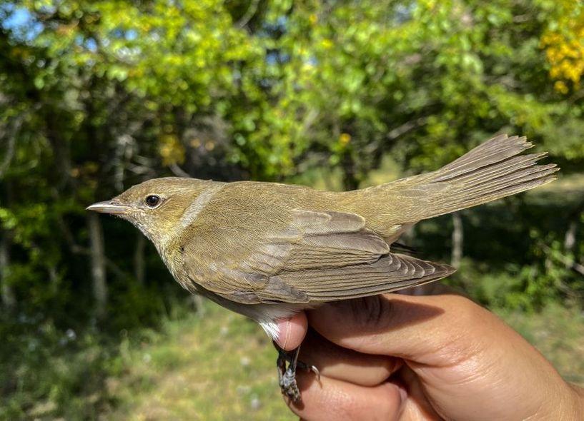 Ховд аймагт зэржгэнэ төрлийн шинэ зүйлийн шувуу бүртгэгджээ
